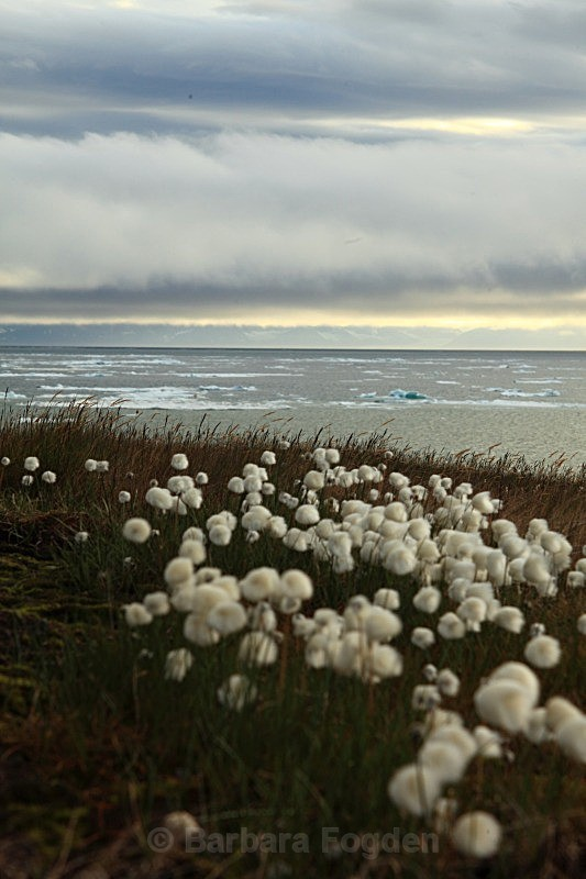 Arctic Cottongrass 7680 - Colours of Svalbard