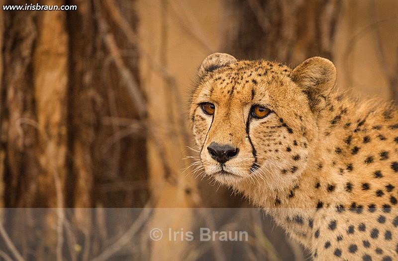 Cheetah in the Woods - Cheetah