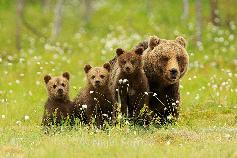 Brown Bear family at Martinselkonen - Brown Bear