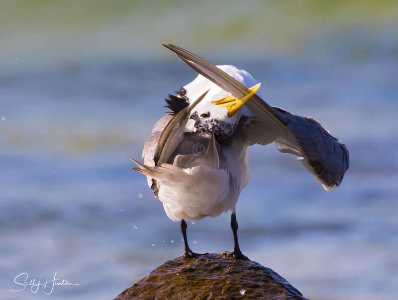 Preening Rocks 6 - Crested Terns 2018 (For Sale)
