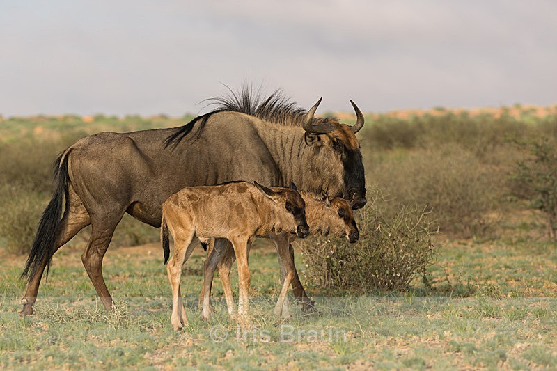 Blue Wildebeest with Two Calfs - Antelope