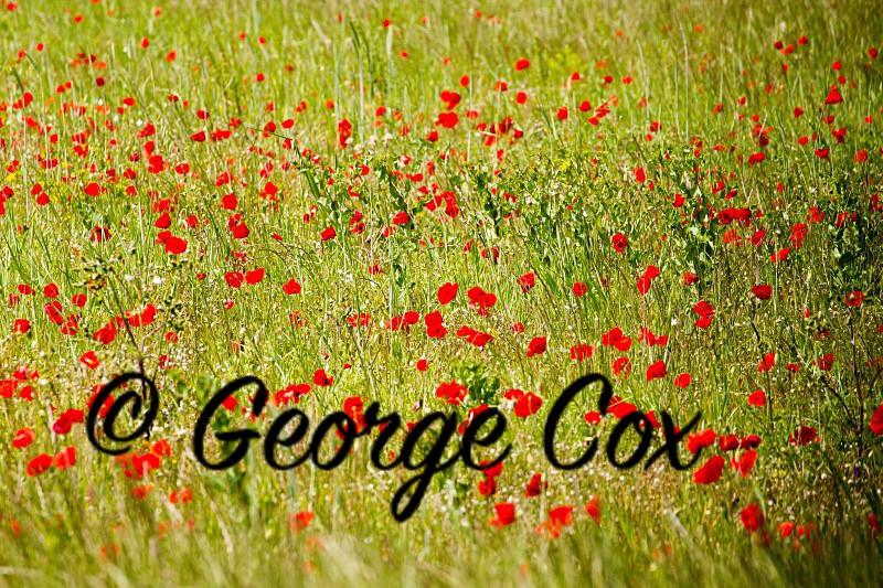 Vercors Poppies