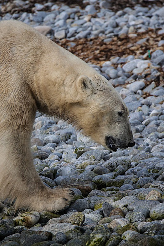 Polar bear 7231 - Trip with MS Expedition August 2016