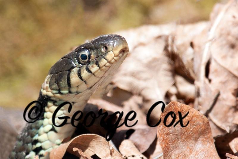 Grass Snake at Potteric Carr - Reptiles