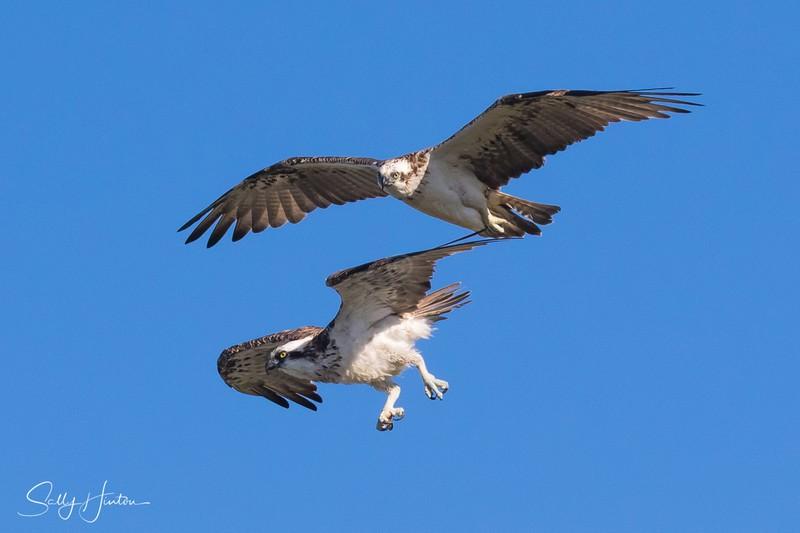 Osprey Pair in Flight 3 - Osprey (For Sale)