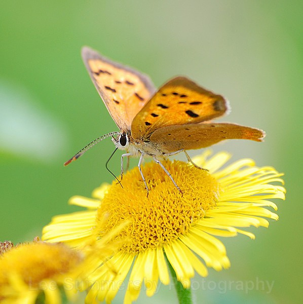 Small Copper - Butterflies and Moths