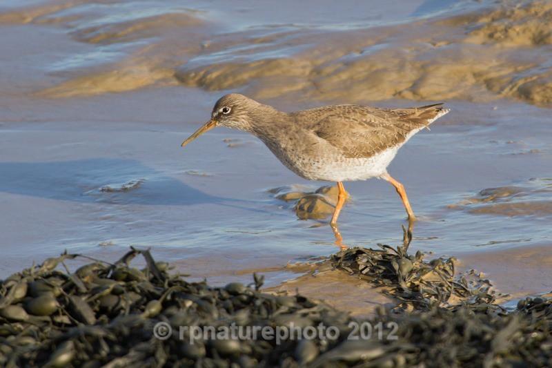 Redshank - Tringa totanus RPNP0687 - Birds
