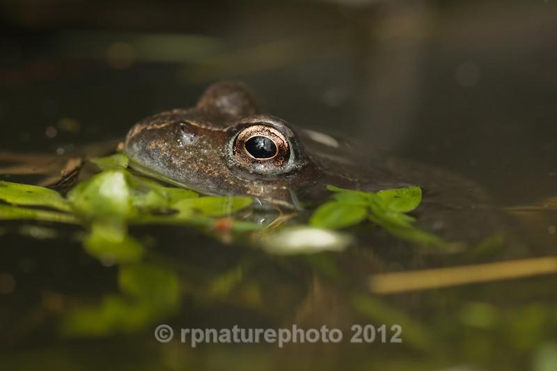 Common Frog - Rana temporaria RPNP0050 - Amphibians & Reptiles
