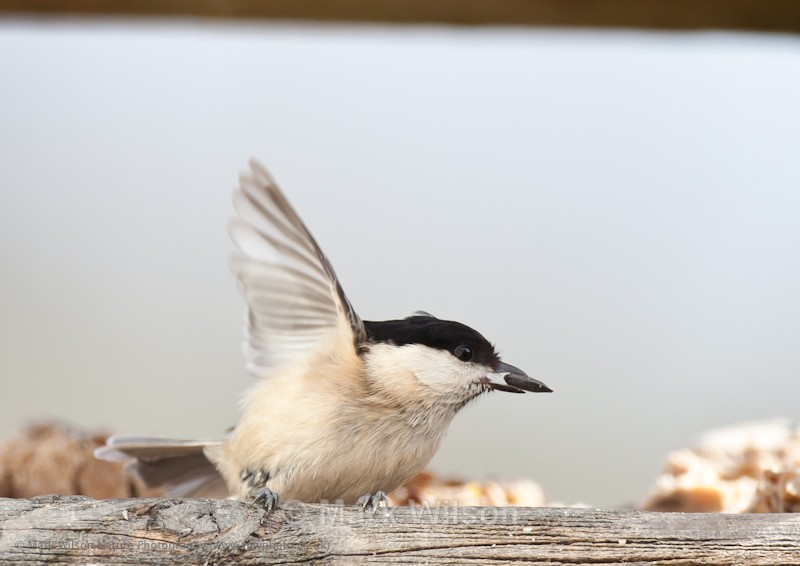 Willow Tit - On the feeders