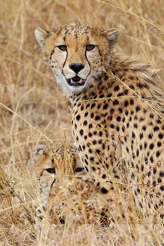 Cheetah brothers - Cheetah