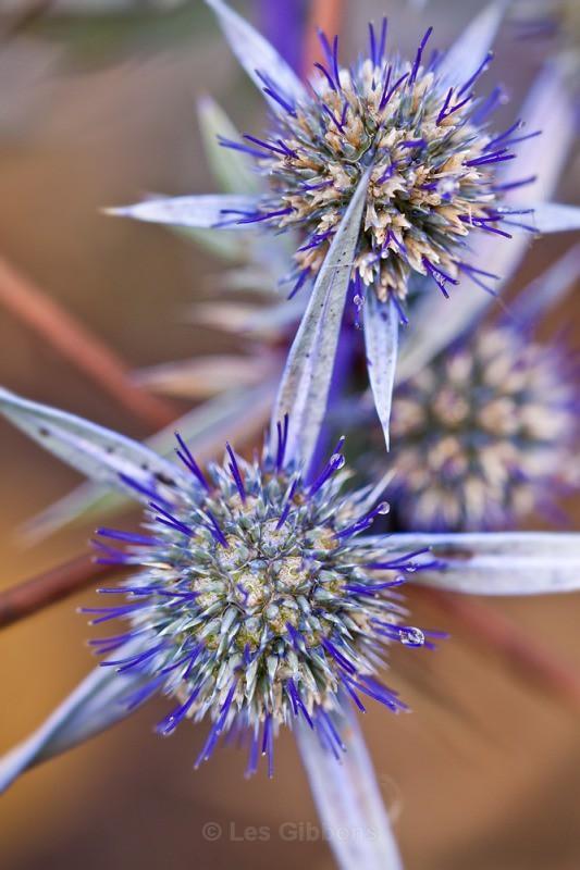 ERYNGIUM PLANUM - Flowers
