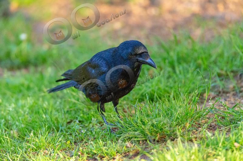 carrion crow Corvus corone-5831 - UK birds