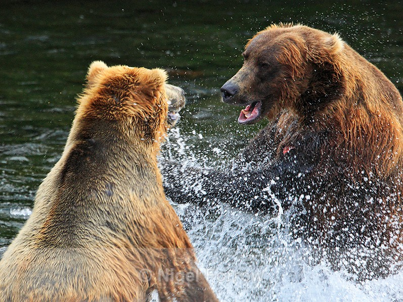 Grizzly Bear fight at Brooks Falls - Brown Bear