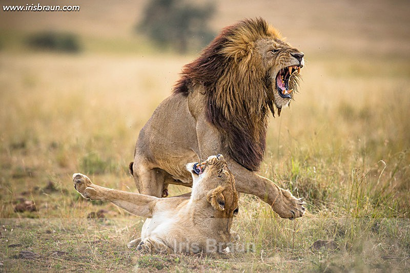 World Lion Day - Lion