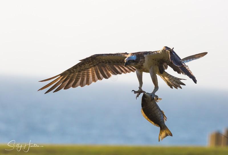 Osprey with Luderick 2 - Osprey (For Sale)