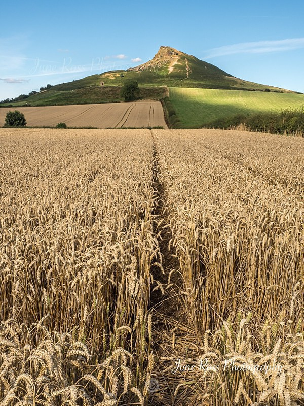 Crops at Roseberry - North-East England