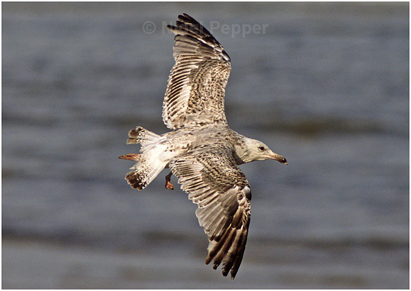 June 21st 2004 - Leggy the Herring Gull
