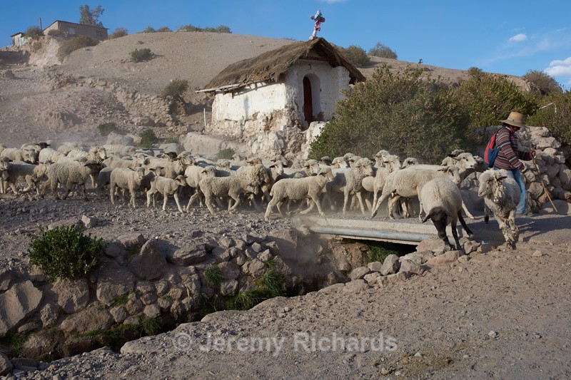 Shepherd at Work - Altiplano of North-East Chile