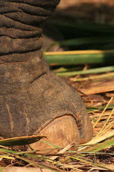 Elephant Foot - Elephant
