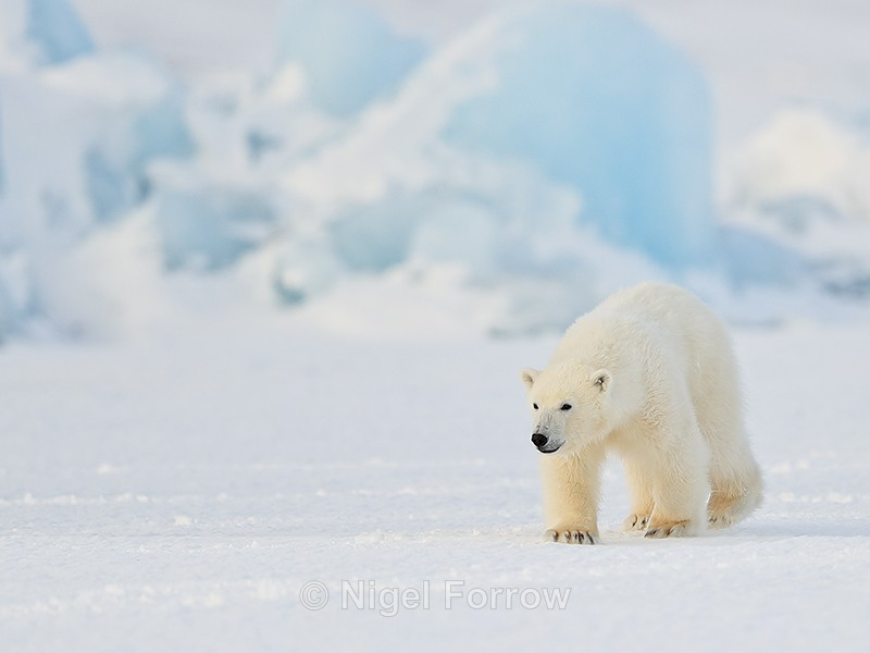 Svalbard Polar Bear cub walking in front of iceberg - Polar Bear