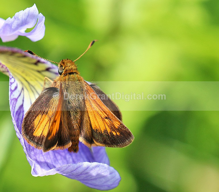 Hobomok Skipper - Butterflies & Moths of Atlantic Canada