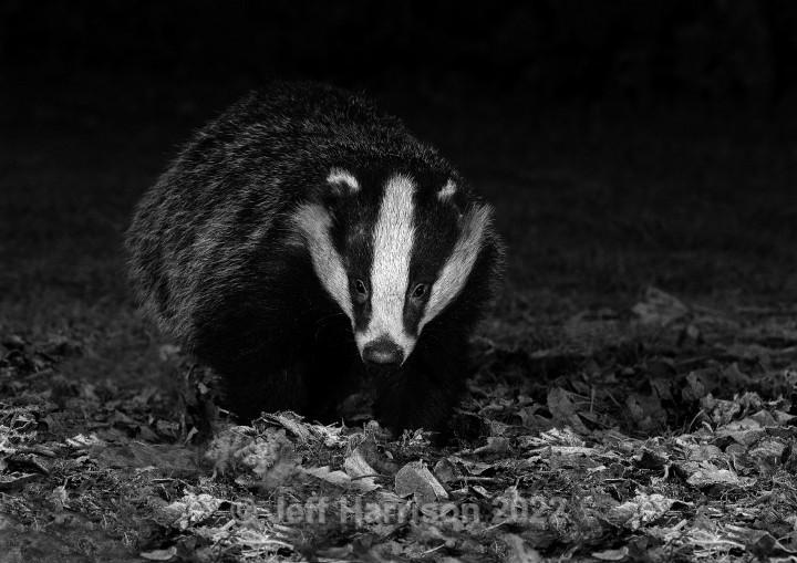 Badger (image Badg 001 - mono) - Mammals