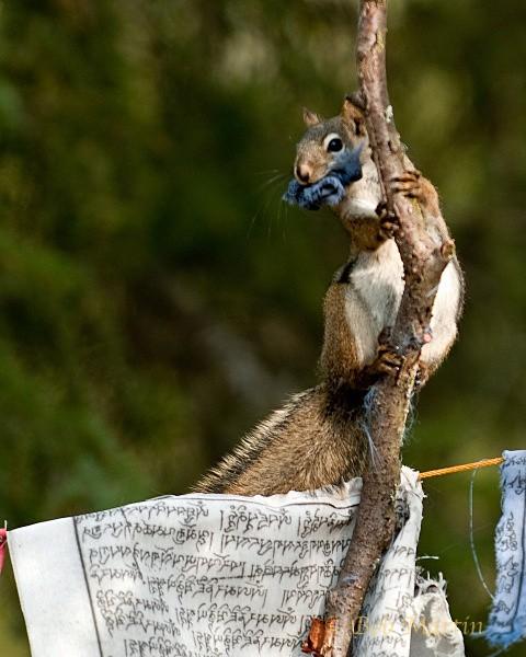 Tibetan Flag Squirrel - Critters