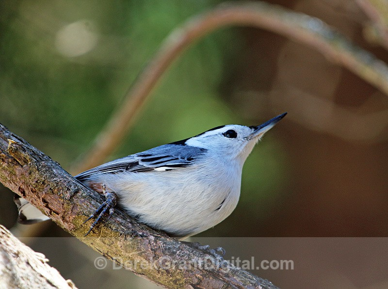 White-breasted Nuthatch - Birds of Atlantic Canada