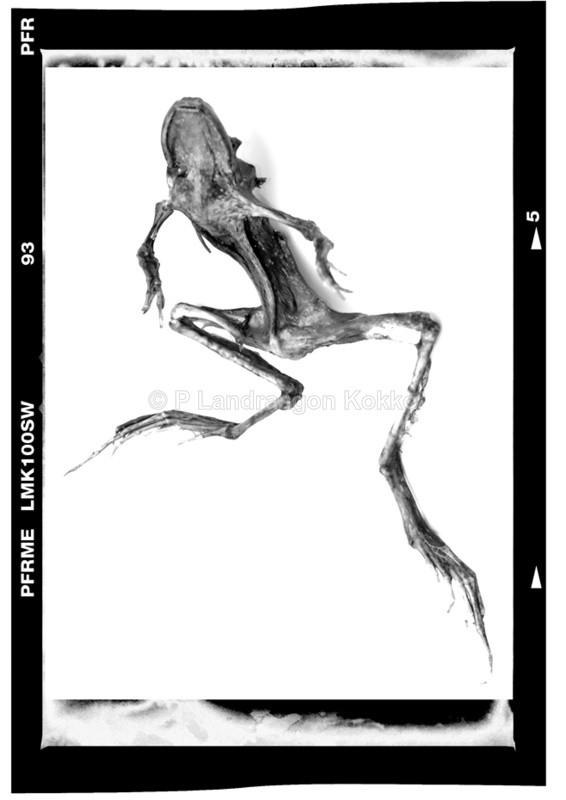 Frog Skeleton - Black & White