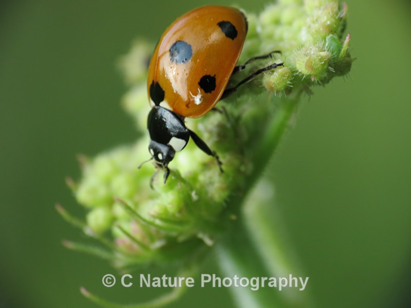 Ladybird - Insects & Creepy Crawlies