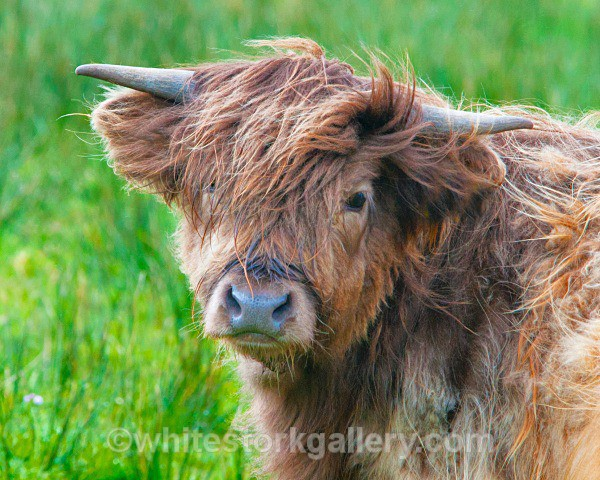 Highland Bull - Scottish Highlands