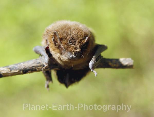 Pipistelle 1 - UK Wildlife