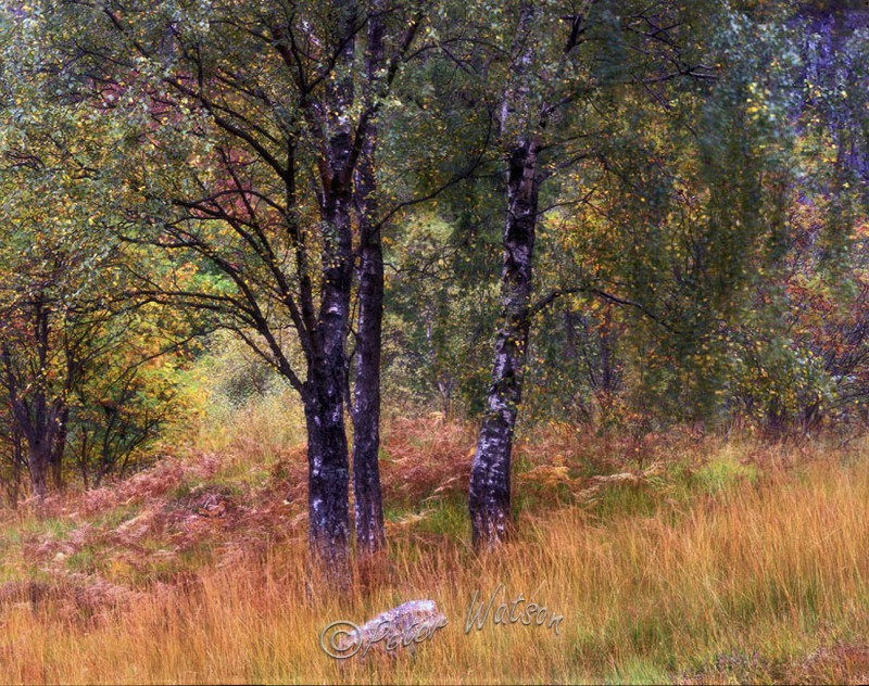 Mamore Forest Scottish Highlands - Forest & Woodland