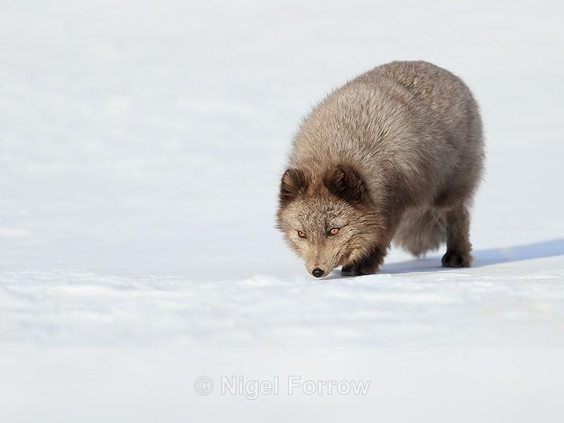 Arctic Fox sniffing ground, Svalbard, Norway - Arctic Fox