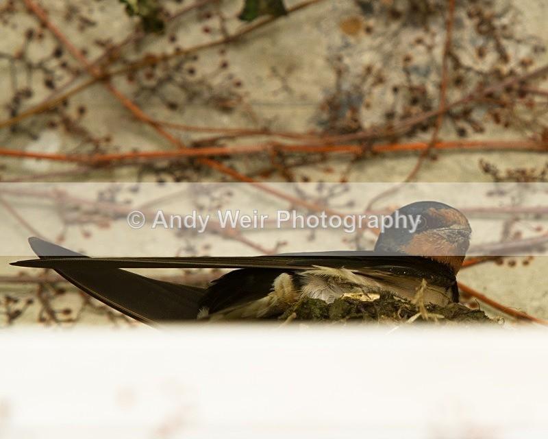 20110614-IMG_5778 - Swallows, Swifts & Martins