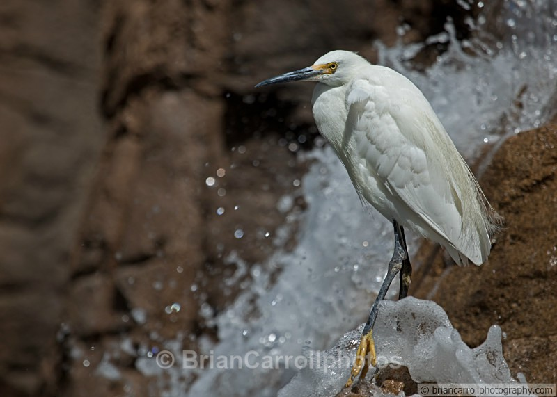 Little Egret - Wildlife