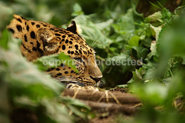Amur Leopard - Comet - Cat Survival Trust - Big and Small Wild Cats