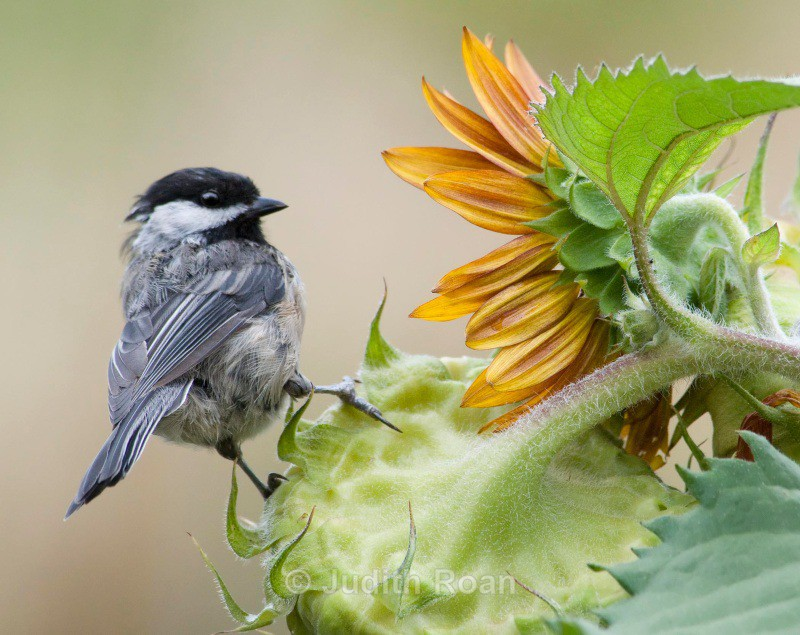 Black-capped Chickadee eyeing a sunflower - Backyard Birds of the Pacific Northwest