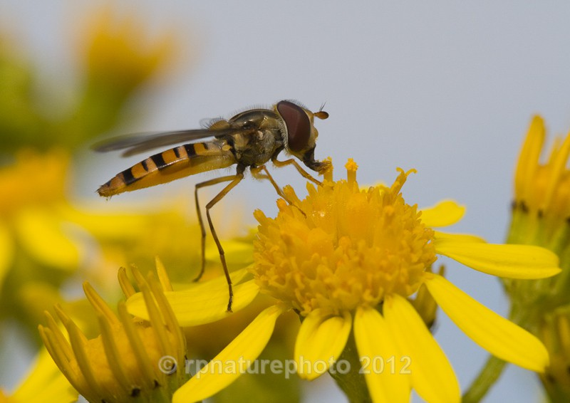 Hoverfly - Episyrphus balteatus RPNP0105 - Insects & Spiders