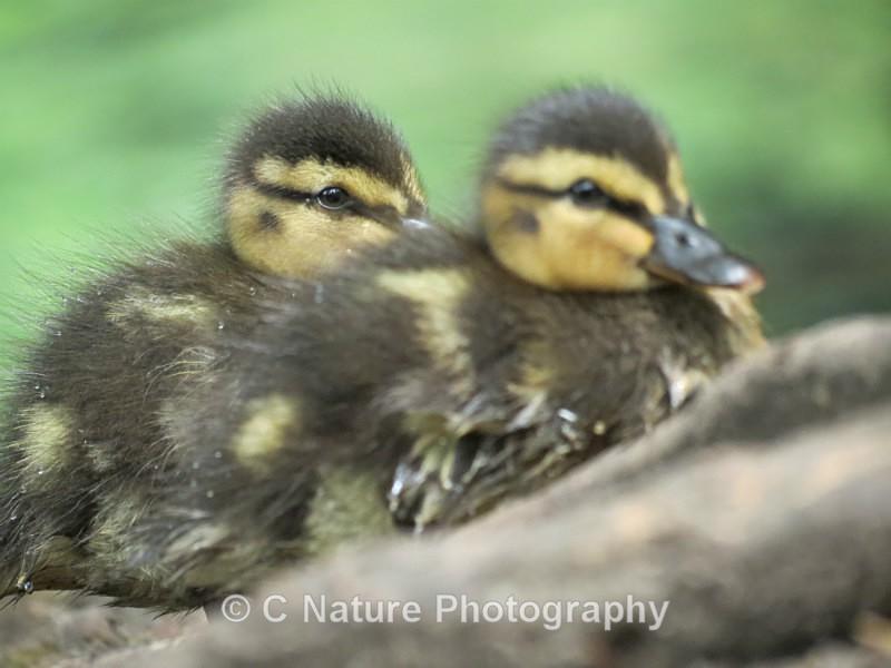 Ducklings - Birds