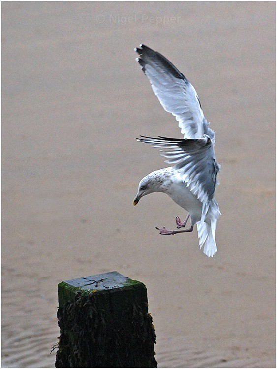 Arrival - Leggy the Herring Gull