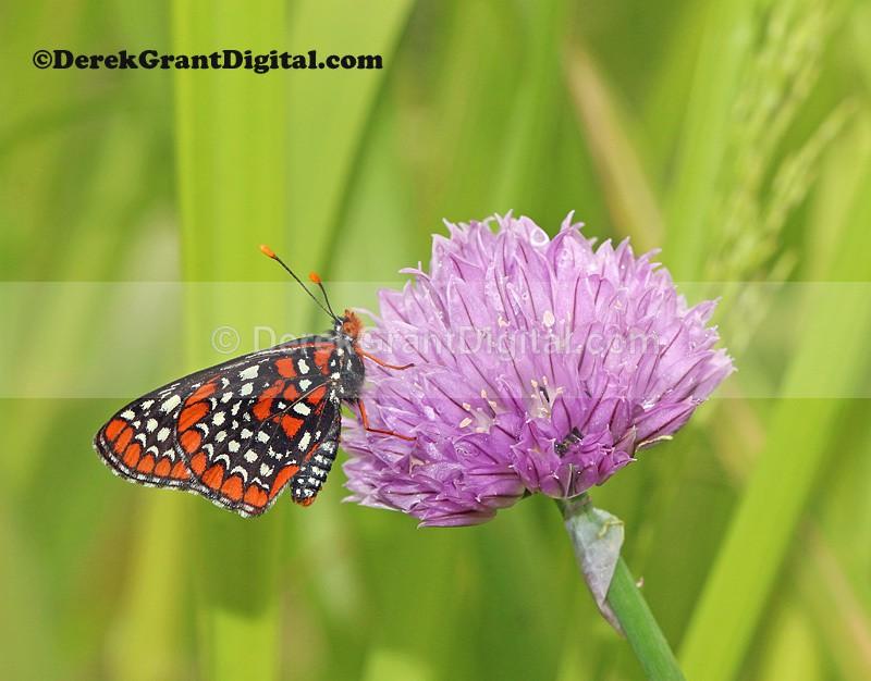 Baltimore Checkerspot Euphydryas phaeton - Butterflies & Moths of Atlantic Canada
