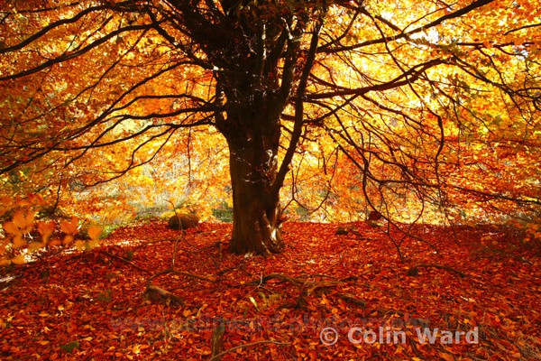 Golden Tree, Hasterly Forest. Ref 4532 - County Durham