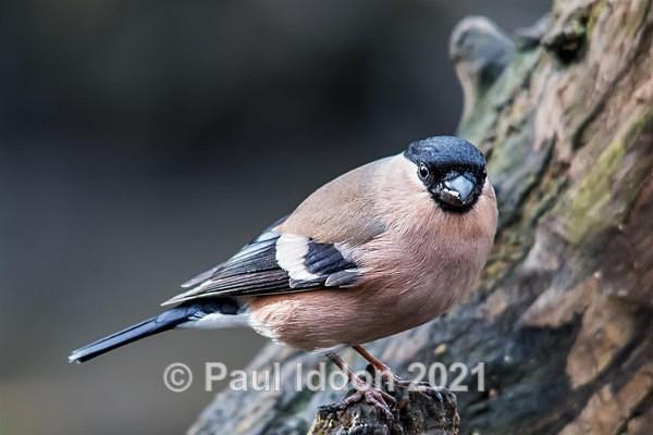 bullfinch02 Large - Nature - Birds and Wildlife