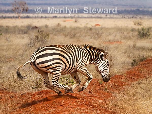 Zebra galloping - Exhibition acceptances
