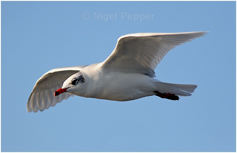 Adult Med Gull ( 2 ) - Gulls