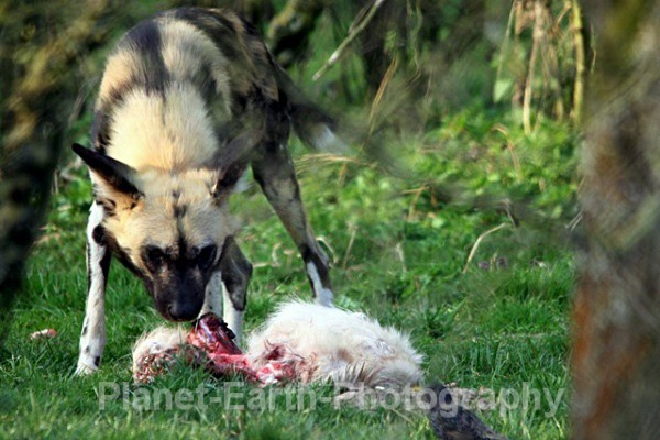 African Wild Dog 19 - African Wild Dogs