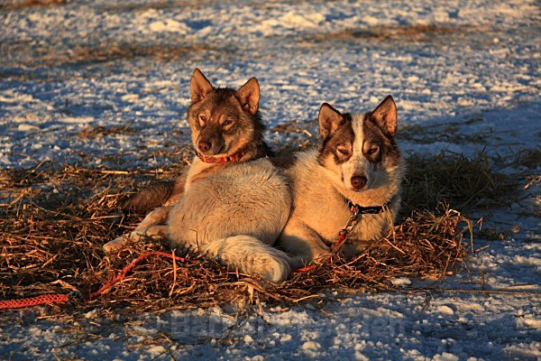 Huskies 9490 - Winter in the daylight