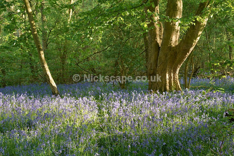 Bluebell Wood - Barnsley - Yorkshire - Yorkshire
