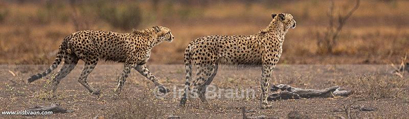 Sprinters - Cheetah